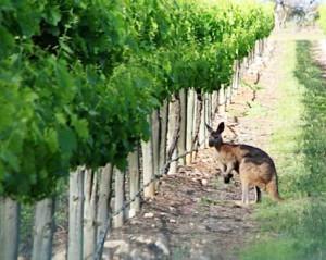 Австралийские виноградари